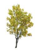 Wczesny jesieni drzewo odizolowywający na bielu Obrazy Royalty Free