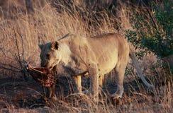 Wczesny poranek lwica z wildebeest zwłoka przy Pilanesberg narodem Zdjęcia Stock