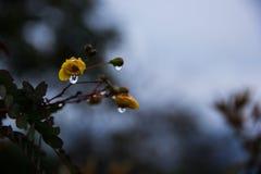 Wczesny poranek rosy kapinosy od małych kwiatów w São Gonçalo robią Rio das Pedras, minas gerais, Brazylia fotografia royalty free