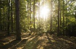 Wczesny poranek w jesieni drewnach Obraz Stock