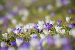 Wczesny wiosna krokus w alps, purpurach i bielu, rozmyty backgr Zdjęcie Stock