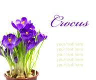 Wczesny wiosna kwiatu krokus dla wielkanocy zdjęcia stock