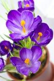 Wczesny wiosna kwiatu krokus dla wielkanocy obraz stock