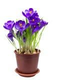 Wczesny wiosna kwiatu krokus odizolowywający zdjęcia stock