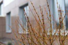 Wczesny wiosny miasta krajobraz: gałąź przeciw okno budynek Fotografia Royalty Free