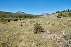4WD vehicle passing grazing mountain cattle. As it drives along a winding dirt road through the highlands on an off-road vacation Stock Photography