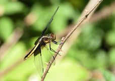 Wdowi Cedzakowy Dragonfly zdjęcie royalty free