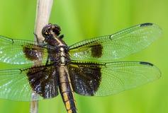 Wdowi Cedzakowy Dragonfly Libellula luctuosa obraz stock