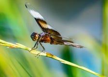 Wdowi Cedzakowy Libellula luctuosa profilu widok zdjęcie royalty free
