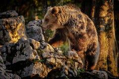 Wdrapywać się niedźwiedzia Obraz Stock
