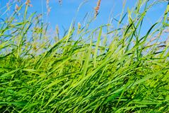 Weak breeze. The wind moves a green grass in the summer at midday Royalty Free Stock Images