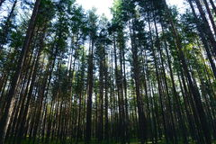Weak sunlight of an early summer morning in a pine forest Royalty Free Stock Photos