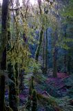 Weak sunlight filters through the branches of trees in the forest. Weak sunlight filters through the moss covered branches of trees in the forest in Gowlland Tod Royalty Free Stock Photos