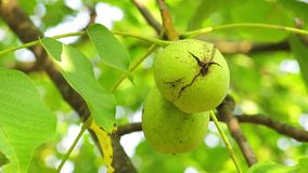 Wealthy Walnut Fruits Hang on Tree Branch. Green Nuts on a Tree Branch stock video footage