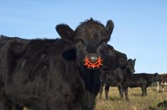 Weaner Calf Royalty Free Stock Image