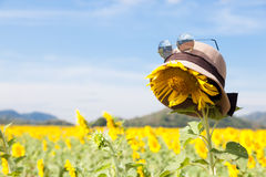Wear a hat and sunglasses for sunflower. Stock Image
