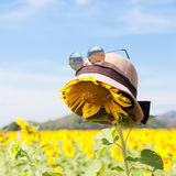 Wear a hat and sunglasses for sunflower. Stock Photography