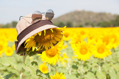 Wear a hat and sunglasses for sunflower. Royalty Free Stock Photo