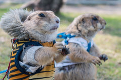 Wearing cloth prairie dog Royalty Free Stock Photo