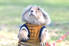 Wearing cloth prairie dog Royalty Free Stock Image