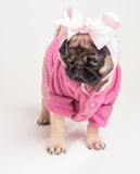 Wearing My Pink Sunday Best - Pug Puppy royalty free stock image