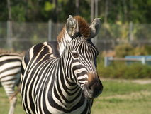 Wearing Stripes. A friendly zebra at Lion Country Safari in West Palm Beach, Florida Stock Images
