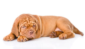 Weary Bordeaux puppy. isolated on white background.  Stock Photo
