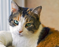 Weary cat eyes. Portrait of a calico tabby mix cat up for adoption in animal shelter Royalty Free Stock Images