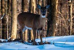 Weary Deer Stock Images