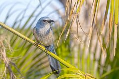 Weary Florida Scrub Jay On A Branch. A weary endangered Florida Scrub Jay on a branch, ready to fly away stock image
