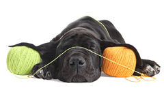 Weary puppy great dane black sleeps about colored threads balls. Royalty Free Stock Photography