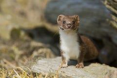Weasel Immagini Stock