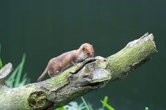 Weasel Stockfotografie