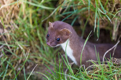 Weasel Royalty Free Stock Images