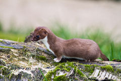Weasel Stockfotos