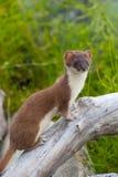 weasel Fotografia Stock
