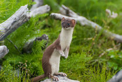 weasel Fotografie Stock