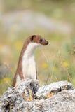 weasel Stockfoto