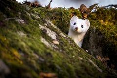 weasel stockbild