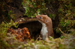 Weasel appearing from dark hole Royalty Free Stock Photography
