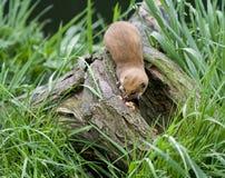 Weasel auf einem Zweig Lizenzfreies Stockfoto