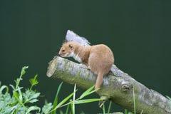 Weasel auf einem Zweig Lizenzfreie Stockbilder