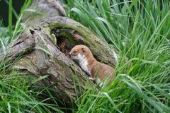 Weasel auf einem Zweig Stockbild