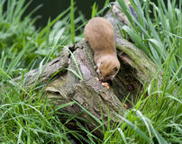Weasel on a branch Royalty Free Stock Photo