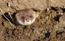 Weasel in burrow Stock Photo