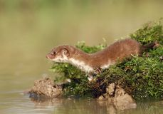 Weasel By Water Royalty Free Stock Photo