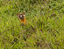 Weasel. Curiously looking from his hole Stock Photography