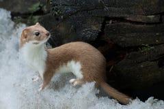 Weasel im Schnee Stockfoto