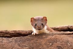 Weasel in log Royalty Free Stock Photography