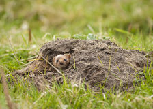 Weasel in molehill Stock Photos